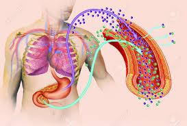 Anatomy Pancreas Human Body Image Of The Human Body And Organs Like The Stomach And Pancreas