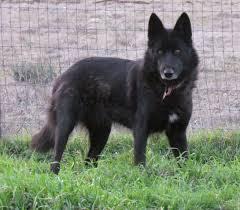 belgian sheepdog rescue texas wolfdog breeder reviews