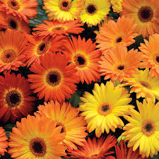 gerbera daisies revolution yellow orange gerbera seeds from park seed