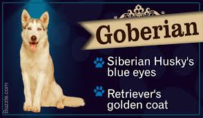 american pitbull terrier vs siberian husky striking information about the golden retriever siberian husky mix