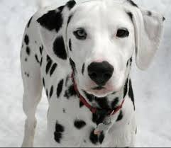 dalmatian dogs dalmatian dog breed u0026 pictures petmd