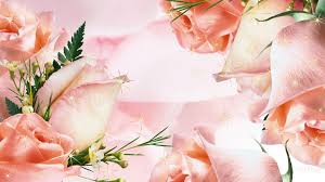 flowers apricot roses flowers color firefox persona pink summer