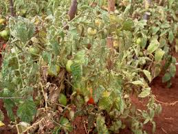 Viral Disease In Plants Page 489 Tomato Infonet Biovision Home