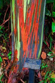 74 best painted eucalyptus trees images on pinterest rainbow