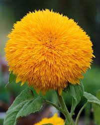 school annuals online sunflower big buy online at s annuals plant lust