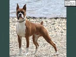 boxer dog health questions boxer dogs dog breed boxer picture collection ideas youtube