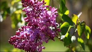 Lilca by Hd Lilacs At The Arnold Arboretum 2010 Youtube