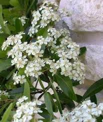 White Flowering Shrub - the trees and flowers of augusta national golfblogger golf blog