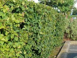 planting a native hedge 5 hornbeam 4 5ft native carpinus betulus hedging makes a thick