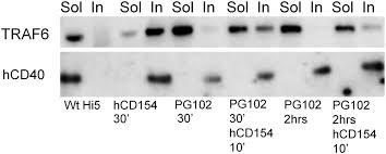 induction of an altered cd40 signaling complex by an antagonistic