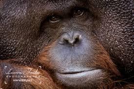 bentley orangutan lawrence fowler 2017