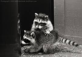 raccoon rehabs u2013 yggdrasil urban wildlife rescue yuwr and