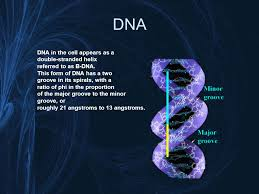 golden ratio dna spiral the divine proportion geometry has two great treasures one is the