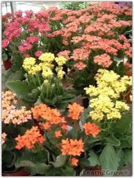 easy flowers to grow indoors winter blooming houseplants indoor blooming plants gardening