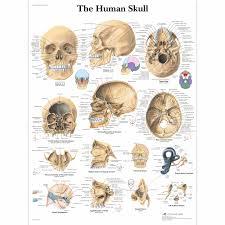 Base Of The Skull Anatomy Human Skull Chart Vr1131l Skeletal System 3b Scientific