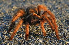 halloween spider background animal spider wallpaper tarantulas pinterest spider and animal