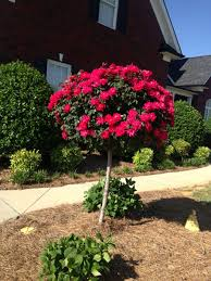 Real Topiary Trees For Sale - red knock out rose trees for sale fast growing trees