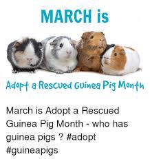 Shaved Guinea Pig Meme - shaved guinea pig baby hippo memeful com guinea pig meme on