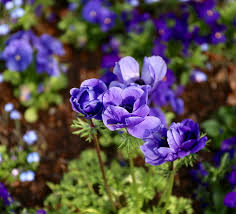 free photo planting anemones perennials garden flowers plant max
