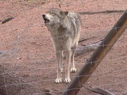 Colorado wild animals images Top wild animal sanctuaries in colorado cbs denver jpg