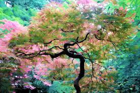 japanese maple tree painting photograph by athena mckinzie