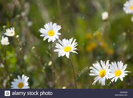 ox eye daises in the summer sunshine stock photo royalty free