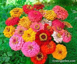zinnias flowers cut and come again heirloom zinnias renee s garden seeds