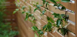 trachelospermum jasminoides against contemporary slatted cedar
