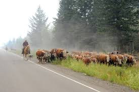 British Columbia Wildfire Service by Ranchers Work Together To Save Cattle In Fire Zones Williams