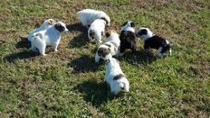 australian shepherd club qld view ad australian cattle dog puppy for sale missouri barnett usa