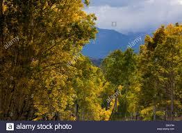 utah usa aspen trees in autumn sevier plateau fishlake