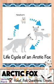 best 25 arctic fox facts ideas on pinterest foxes fox facts