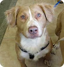 american pitbull terrier mix cass adopted dog middletown ny golden retriever american