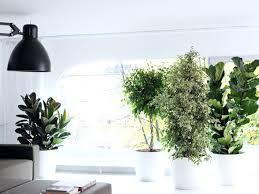plante de chambre plante pour chambre le ficus pour le salon plante depolluante pour