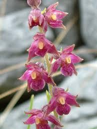 Orchids Facts by Flora Burrenbeo Trust