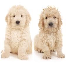 goldendoodle puppy treats puppy care teddybear goldendoodles