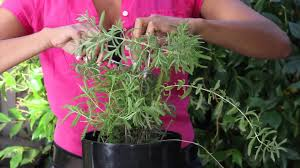 how to trim a potted lavender plant the chef u0027s garden youtube