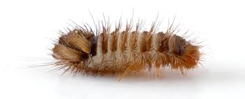 Biscuit Beetle In Bedroom Bed Bugs Vs Carpet Beetles Know The Difference Bug Zapper