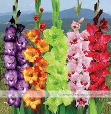 gladiolus flowers aliexpress buy 200pcs gladiolus seeds gladiolus flower