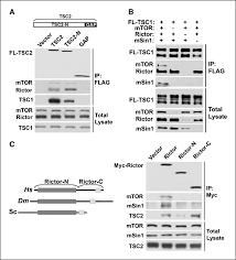 Flag Complex Signaling Events Downstream Of Mammalian Target Of Rapamycin