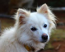 american eskimo dog or japanese spitz free images white puppy cute pet fur small playful