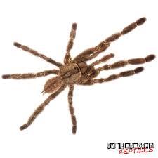 indian ornamental tarantulas for sale underground reptiles