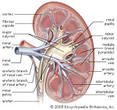 Sheep Heart Anatomy Quiz Kidney Anatomy Britannica Com