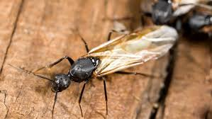 How To Get Rid Of Backyard Flies by When Is Flying Ant Day 2017 And How To Get Rid Of Them Bt