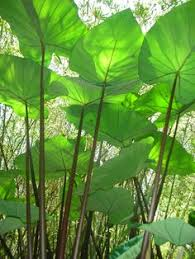 Tropical Aquatic Plants - many people really enjoy this aquatic plant because it blooms and