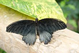 black admiral butterfly stock photo image of admiral 27163702