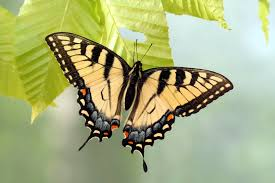 appalachian tiger swallowtail butterfly is a hybrid of two other