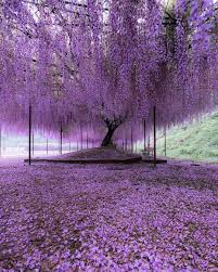 wisteria trees in hyogo japan reddit pics pinterest wisteria