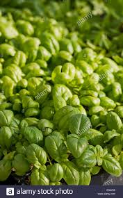 basil sweet green seedlings ocimum basilicum spring herb culinary