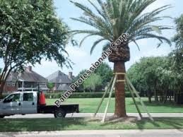 houston fruit tree sale canary island date palm for sale in houston texas buy cold hardy